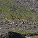 die  Schwarzhals-Geissen in der  Moräne  des  Gamser-Gletschers (nicht wegen des  Futters)