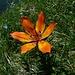 eine sehr schöne Feuerlilie