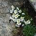 kurz unter dem Gipfelkreuz auf über 3100 m Höhe, ein echter Blumengruß