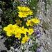 """... zu weiteren """"sonnigen"""" Blumen ..."""