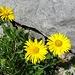 """... und diese Art der """"Sonnenblumen"""""""