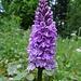 stattlich-schöne Orchis ...
