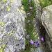 Fessura fiorita