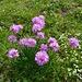 Alpen-Grasnelken (Armeria alpina)