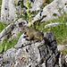 Auf dem Weg von Untersäss zur Alp Garschina hinauf, habe ich neben der Strasse ein sehr herziges Murmeltier gesehen, schnell holte ich meine kleine Zoomkamera hervor und fotografierte es mehrmals.
