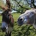 Ja, mit Grasbüschel lassen sich die Esel vor die Linse locken...