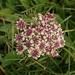 Vanille-Erdbeer Blume