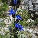 Aufgeblasener Enzian (Gentiana utriculosa)
