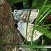 Silbergrüne Bläulinge, Lysandra coridon, auf der Scheißwurscht (sorry übrigens für die Fäkalsprache. Aber mia san ja in Bayern und es ist, wie es ist:-)) / Farfalle blu, Lysandra coridon sulla cacca<br /><br />Immer wieder vielen Dank an meine Schmetterling-, Raupe und sonstige Insekten-Spezialisten! / Sempre mille grazie ai miei specialisti delle farfalle e bruchi e altri.