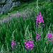 Phantastische Flora im Aufstieg! Diese hohen Schönheiten haben mit dem Wind getanzt :-)