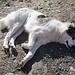 Dafür habe ich mich gegen Tollwut impfen lassen. Der Hund des russischen Bergführers. Konnte man stundenlang streicheln das Viech :)
