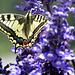 schöner Schmetterling, vermutlich ein Schwalbenschwanz
