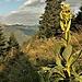 Gentiana lutea L.<br />Gentianaceae<br /><br />Genziana maggiore.<br />Gentiane jaune.<br />Gelber Enzian.