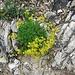 Saxifraga aizoides L.<br />Saxifragaceae<br /><br />Sassifraga cigliata.<br />Saxifrage des ruisseaux.<br />Bach.Steinbrech.