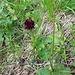 Nigritella nigra aggr.<br />Orchidaceae<br /><br />Nigritella comune.<br />Nigritelle noiratre.<br />Schwarzes Männertreu.