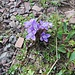 Gentiana campestris L. s.str.<br />Gentianaceae<br /><br />Genziana campestre.<br />Gentiane champetre.<br />Feld.Enzian.