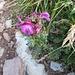 Pedicularis rostrocapitata Crantz<br />Orobanchaceae (incl. Scrophulariaceae p.p.)<br /><br />Pedicolare a spiga breve.<br />Pediculaire à bec et en tete.<br />Kopfiges Läuserkraut.