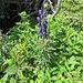 Aconitum compactum (Rchb.) Gáyer<br />Ranunculaceae<br /><br />Aconito napello.<br />Aconit compact.<br />Dichtblütiger Blau-Eisenhut.
