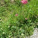 Onobrychis montana DC.<br />FDabaceae<br /><br />Lupinella montana.<br />Esparcette des montagnes.<br />Berg-Esparsette.