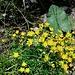 Saxifraga aizoides L.<br />Saxifragaceae<br /><br />Sassifraga cigliata.<br />Saxifrage des ruisseaux.<br />Bach-Steinbrech.