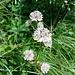 Astrantia major L.<br />Apiaceae<br /><br />Astranzia maggiore.<br />Grande astrance.<br />Grosse Sterndolde.