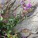 Acinus alpinus (L.) Moench<br />Lamiaceae<br /><br />Acino alpino.<br />Sarriette des Alpes.<br />Alpen-Steinquendel.