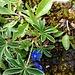 Gentiana orbicularis Schur<br />Gentianaceae<br /><br />Genziana di Favrat.<br />Gentiane à feuilles orbiculaires.<br />Rundblättrige Enzian.
