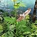 Cirsium oleraceum (L.) Scop.<br />Asteraceae<br /><br />Cardo giallastro.<br />Cirse maraicher.<br />Kohldistel.