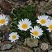 Blütenpracht auf 3000m: Gewöhnliche Alpenmargerite (Leucanthemopsis alpina).