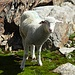 Verirrtes Schaf. Ob es wohl wieder zur Herde zurückfindet?