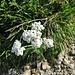 Achillea clavenae L. Asteraceae  Millefoglio di Clavena. Achilée de Clavena. Clavenas Schafgarbe.