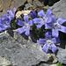 Mont-Cenis-Glockenblume (Campanula cenisia)