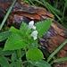 Lamium album L.<br />Lamiaceae<br /><br />Falsa ortica bianca.<br />Lamier blanc.<br />Weisse Taubnessel.