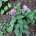 Scabiosa lucida Vill.<br />Caprifoliaceae (incl. Dipsacaceae)<br /><br />Vedovina alpestre.<br />Scabiose luisante.<br />Glänzende Skabiose.