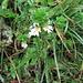 Euphrasia alpina Lam.<br />Orobabchaceae (incl. Scrophulariaceae p.p.)<br /><br />Eufrasia delle Alpi.<br />Euphrasie des Alpes.<br />Alpen-Augentrost.