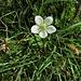 Parnassia palustris L.<br />Celastraceae (incl. Saxifragaceae p.p.)<br /><br />Parnassia.<br />Parnassie des marais.<br />Sumpf-Herzblatt.