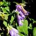 Fotographieren gerne - Pflanzenbestimmen weniger. Diese treuen Wegbegleiter erfreuen mich einfach