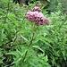 Clinopodium vulgare L.<br />Lamiaceae<br /><br />Clinopodio dei boschi.<br />Sariette clinopode.<br />Wirbeldost.