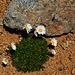 Blumen in der Geröllwüste