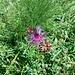 Farfalle su una Centaurea.