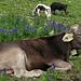 Eine glückliche Kuh :-)