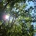 Die Sonne durchdringt das Blätterdach des Kastanienwaldes.