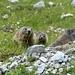 Tre marmotte!