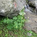 Aconitum altissimum Mill.<br />Ranunculaceae<br /><br />Aconito giallo.<br />Aconit tue-loup.<br />Gewöhnlicher Gelb-Eisenhut.