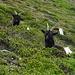 Valais Blackneck goats.