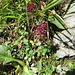 Thymus praecox subsp.Polytrichus (Borbas) Jalas Lamiaceae  Timo a peli variabili. Thym à piloté variable. Gebirgs-Feld-Thymian.