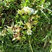 Parnassia palustis L.<br />Celastraceae (incl. Saxifragaceae p.p.)<br /><br />Parnassia.<br />Parnassie des marais.<br />Sumpf-Herzblatt.