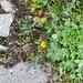 Trifolium aurem Pollich.<br />Fabaceae<br /><br />Trifoglio aureo.<br />Trèfle doré.<br />Gold-Klee.