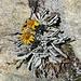 Senecio incanus L. s.str. Asteraceae  Senecione biancheggiante. Séneçon blanchâtre. Gewönliches Graues Greiskraut.
