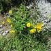 Potentilla aurea L. Rosaceae  Cinquefoglie fior d'oro. Potentille dorée. Gold Fingerkraut.
